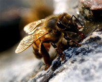Bee - On the Rocks
